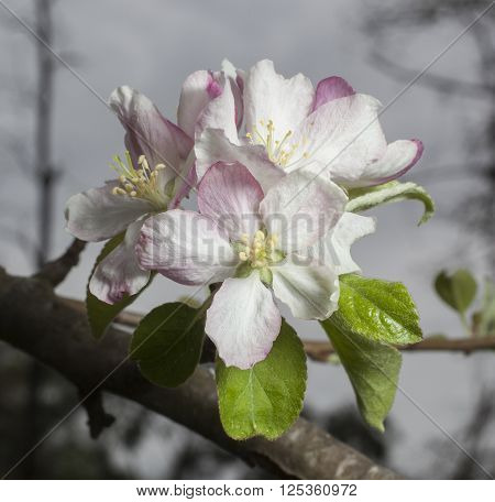 Blossom on a branch of a granny smith apple tree in spring