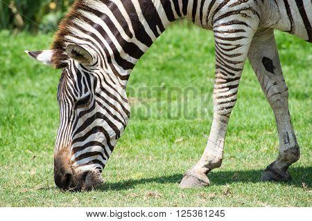 Zebra In A Safari Park Natural Of South Africa .
