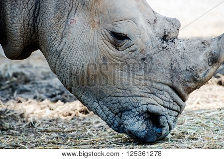 Close up of rhinoceros showing horns and eating