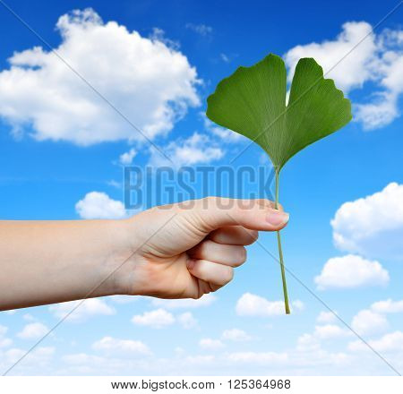 Hand holding ginkgo biloba leaf on the background blue sky.