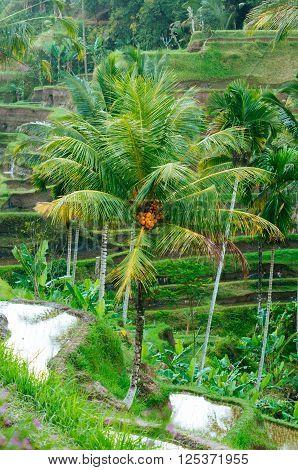 Rice Terraces, Tegalalang, Bali, Indonesia
