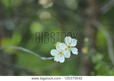 Cherry blossom, beautiful flowering tree in spring