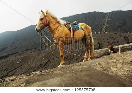 Grey Horse in front of mountains near Volcano Bromo Java Indonesia