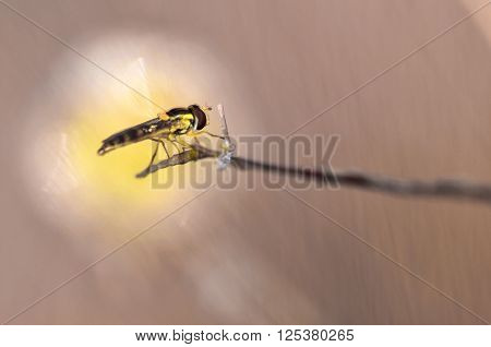 Syrphidae called an insect species in nature