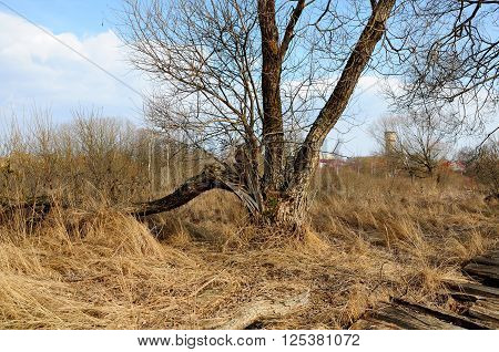 broken tree without leaves at the beginning of spring in the marshland