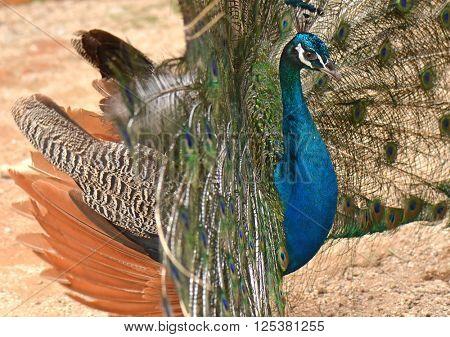 Beautiful peacock closeup
