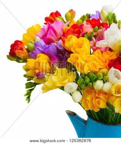 Fresh freesia flowers in blue pot close up isolated on white background