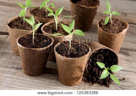 Pepper seedlings in peat pots on wood