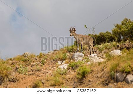 Mountain goat in the mountains looks into the distance Marbella Spain