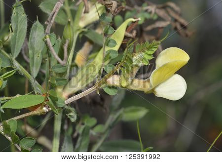 Hairy Yellow Vetch - Vicia hybrida Climbing Flower from Cyprus