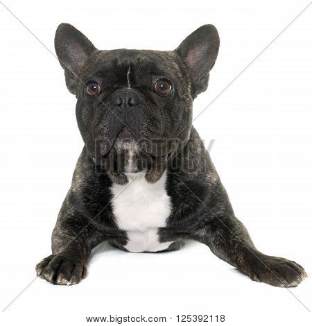 brown french bulldog in front of white background