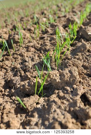 wheat seedling in a field in spring ** Note: Shallow depth of field