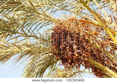 Dense Cluster Of Date Fruits On A Palm Tree