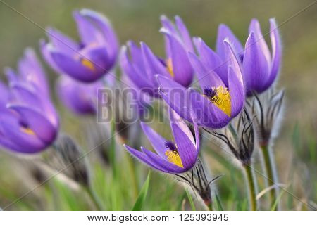 Beautiful Purple Little Furry Pasque-flower. (pulsatilla Grandis) Blooming On Spring Meadow At The S