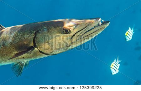 Barracuda is hunting in The Indian Ocean Maldives