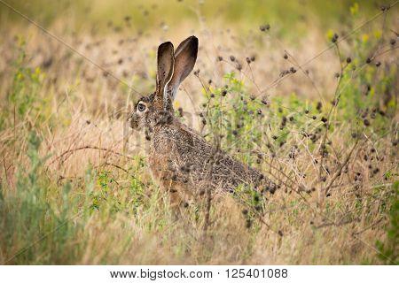 black-tailed jackrabbit (Lepus californicus) - American desert hare, alert