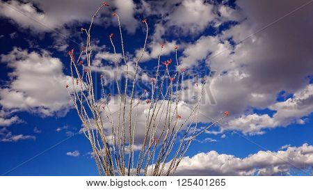 Fowering ocotillo cactus against cloud filled sky in Big Bend National Park Texas