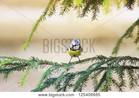 a small blue tit bird sits on the branches of green spruce