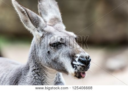 A portrait of a grey kangaroo with its tongue sticking out a small amount.