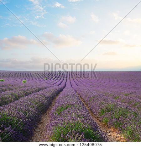 Lavender flowers field rows with summer blue and pink sunset sky, Provence, France