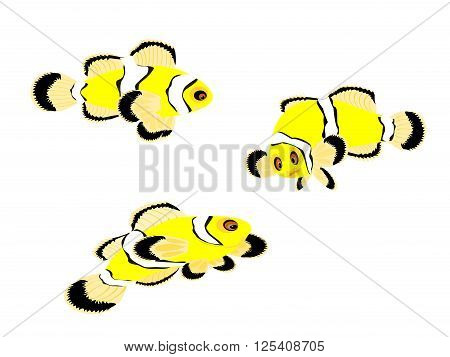 false percula tropical clown fish, illustration, vector, png format,