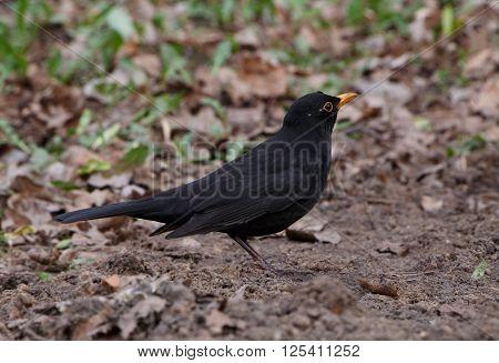 close up of black thrush on ground