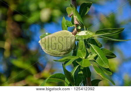 Closeup of almond tree branch with shiny leaves and one green nut.