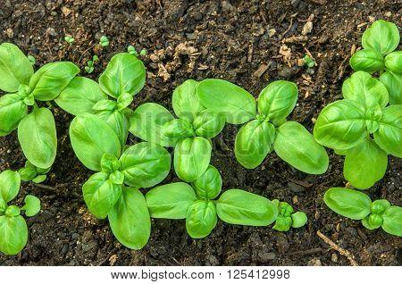 Green basil seedlings growing on the vegetable bed.