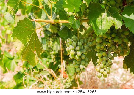 Vineyard green grapevine with growing white grape, Provence France