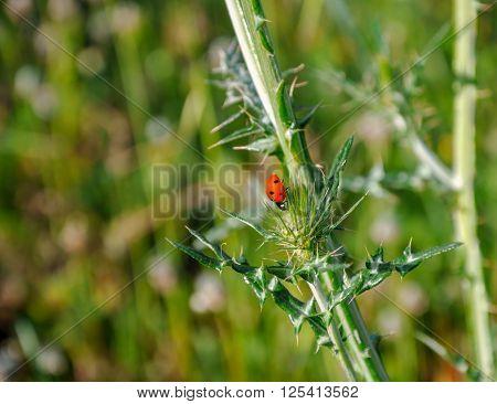 Small Ladybug (?occinellidae) Among Wild Thistles (carduus).