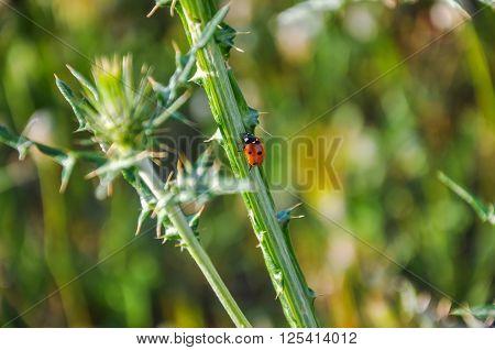 Ladybug (coccinellidae) On Wild Thistle (carduus).
