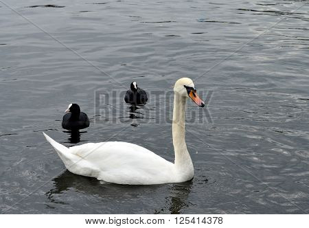 Swan and ducks swimming on the spree river in berlin