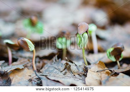 close up germinating seedlings beech leaf drop