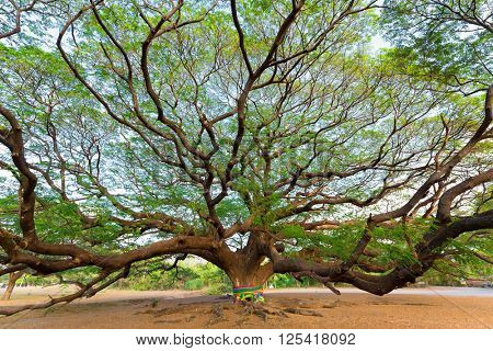 Giant Albizia Saman tree in the Kanchanaburi province, Thailand