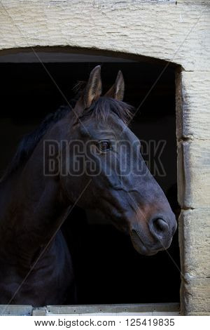 portrait of maroon horse standing inside stable
