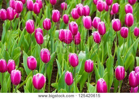 Beautiful Tulip In The Garden