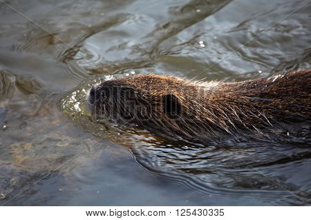 Photo of a coypu (Myocastor coypus) in water.