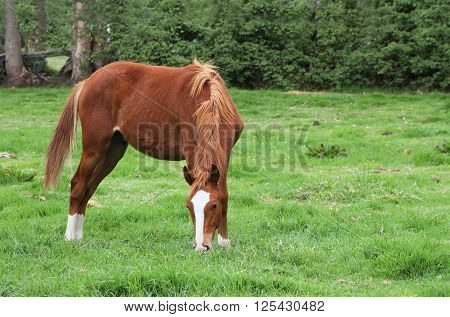 Chestnut-colored horse with white blaze grazing in a lush grass pasture