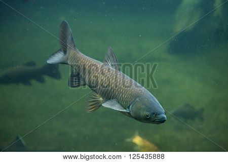 Grass carp (Ctenopharyngodon idella). Wild life animal.