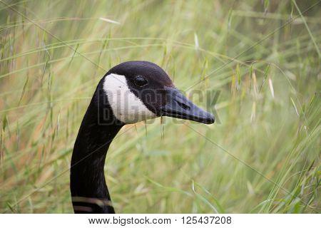 Canada Goose - Branta Canadensis, head shot