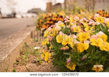 Mixed organic colorful pansy viola flowers in garden, selective focus