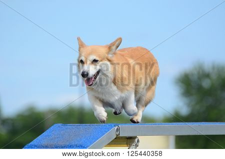 Pembroke Welch Corgi Running on a Dog Walk at an Agility Trial ** Note: Soft Focus at 100%, best at smaller sizes