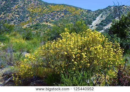 Bush Poppy Plant flower blossoms taken in the Mojave Desert, CA during spring