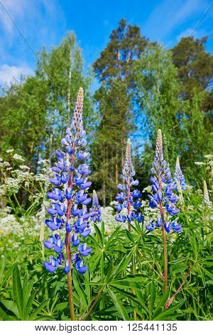 Beautiful blue Lupin photographed in Norway during spring