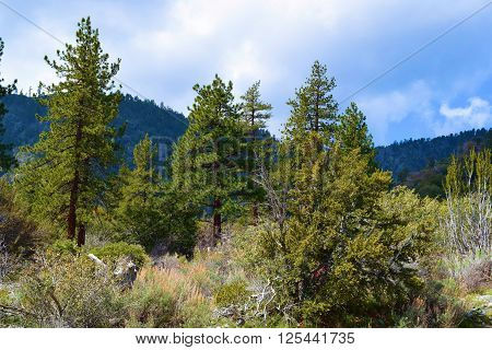 Pine forest amongst sage taken in the San Gabriel Mountains, CA
