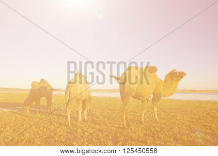 Three Camels Eating Grass In A Scenic Nature Concept