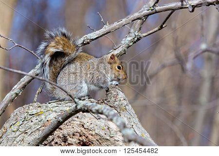 The grey squirrel is a very familiar animal in the United Kingdom, despite not being native. It was introduced from North America during the late 19th Century and since then has displaced the native red squirrel across most of England and Wales.