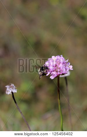 A bumblebee perches on the edge of a pink flower in a green backdrop.