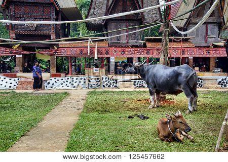 Black Buffalo At Funeral Ceremony. Tana Toraja