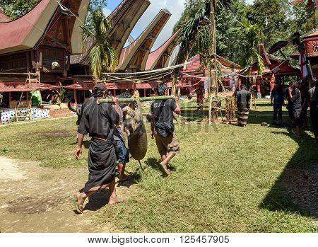 Men Carry Alive Pig Tied On Bamboo Beam In Tana Toraja